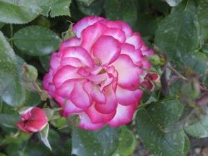 Ros i botaniska trädgården i Christchurch.