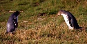 Pingviner nära Dunedin.